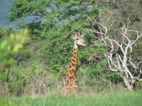 Giraffe on the Tembe Elephant Park
