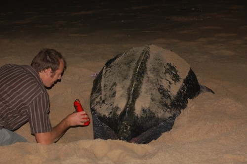 St Lucia South Africa Turtles. Leatherback Turtle