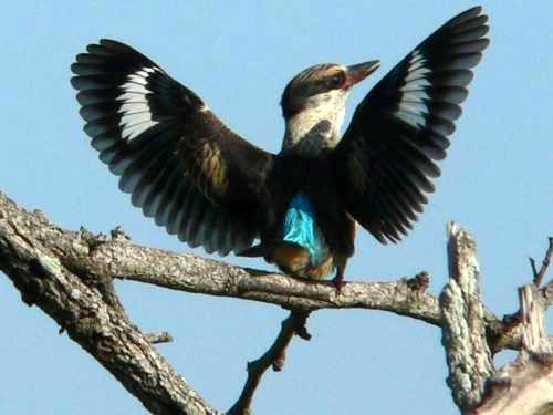 St Lucia Africa, brown hooded kingfisher