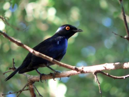 St Lucia Africa, glossy starling