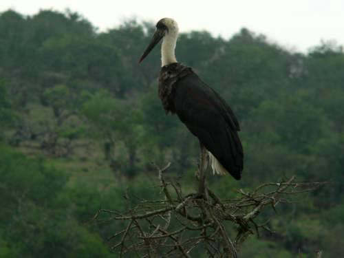 St Lucia Africa, wooly necked stork