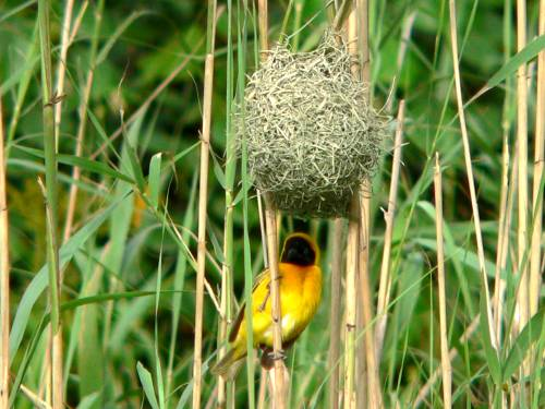 St Lucia Africa, masked weaver