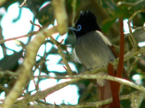 St Lucia Africa, paradise flycatcher