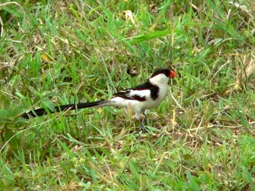 St Lucia Africa, pin tailed whydah