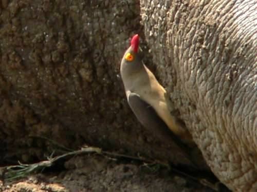 St Lucia Africa, red billed oxpecker