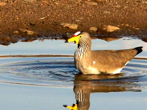 St Lucia Africa, wattled plover