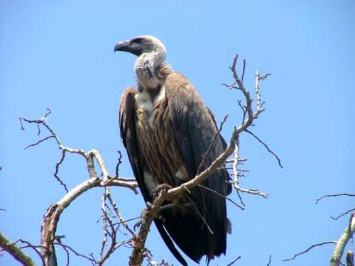 St Lucia Africa, white backed vulture