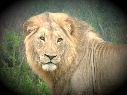 Lion in Hluhluwe Umfolozi, St Lucia Africa. Hluhluwe tours and safaris