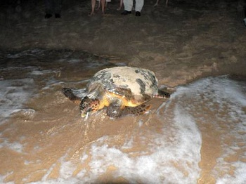 Turtles at Bhanga Nek