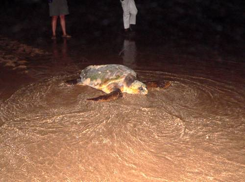 St Lucia Turtles