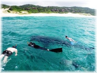 Swimming with a whale shark - things to do in South Africa